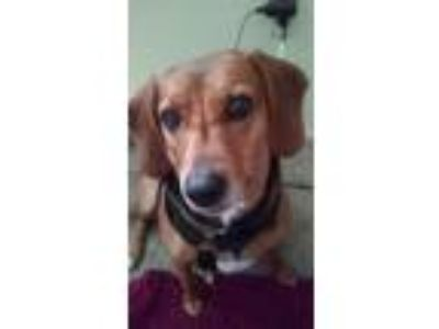 Adopt Brownie a Brown/Chocolate - with Black Bloodhound / Beagle / Mixed dog in