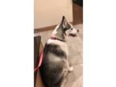 Adopt Bella a White - with Black Husky / Mixed dog in Fort Campbell
