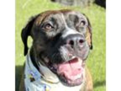 Adopt Lucy a Brindle Boxer / Mixed dog in Largo, FL (25611863)