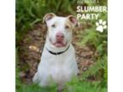Adopt Hershey a White - with Tan, Yellow or Fawn Labrador Retriever dog in