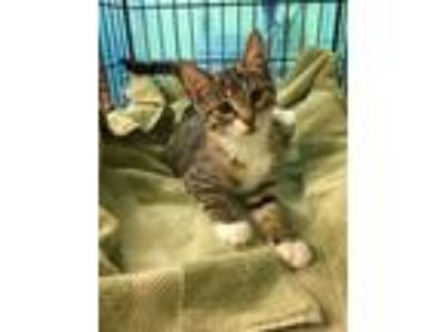 Adopt Siri (Available Saturday, 6/15/19) a Domestic Medium Hair