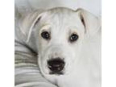 Adopt Snow a White - with Tan, Yellow or Fawn Husky / Great Dane / Mixed dog in
