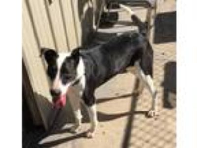 Adopt Cici a Black - with White Collie / Mixed dog in Shelbyville, TN (20041028)