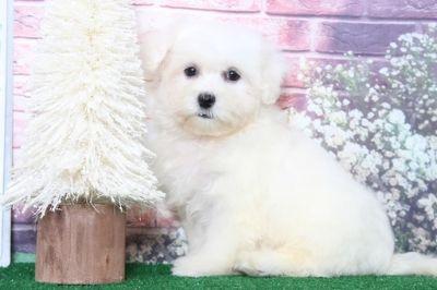 Maltese PUPPY FOR SALE ADN-91601 - Miles Super Cute Male Maltese Puppy