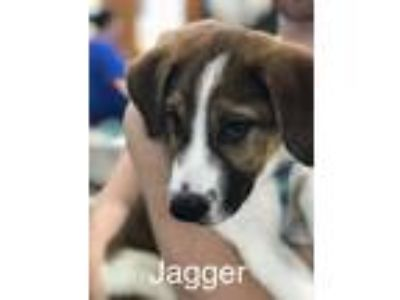 Adopt Jagger Meet 5/31 a Brown/Chocolate - with White Shepherd (Unknown Type) /