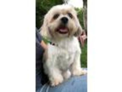 Adopt Baily a Lhasa Apso / Mixed dog in Davie, FL (24771487)