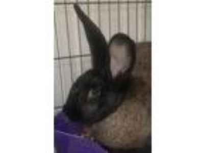 Adopt Chyna a Bunny Rabbit