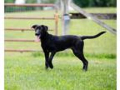 Adopt Flicka a Black - with White Labrador Retriever / Great Dane / Mixed dog in