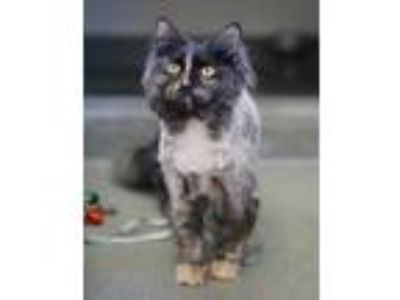 Adopt Willow a Domestic Mediumhair / Mixed cat in Rocky Mount, VA (25547474)
