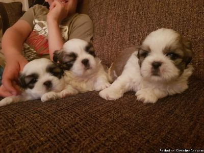Gorgeous Shih Tzu Pups##for your kids and family