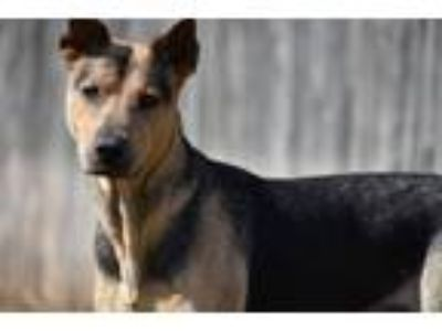Adopt Hero a German Shepherd Dog