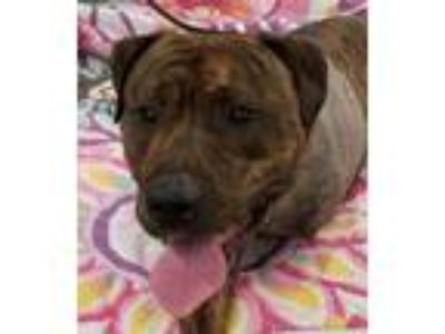Adopt Buster a Pit Bull Terrier, Mastiff