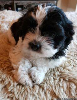 Shih Tzu Puppies!