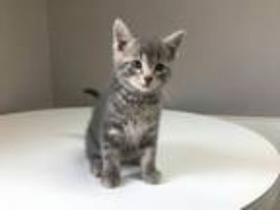 Adopt Cain a Domestic Short Hair
