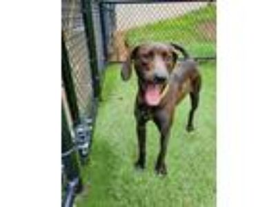 Adopt BOOKER a Brindle - with White American Pit Bull Terrier / Mixed dog in