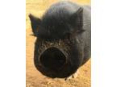 Adopt Sweetie Pie a Pig (Potbellied) farm-type animal in Palm Desert