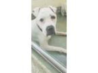 Adopt Rocky a White American Pit Bull Terrier / Mixed dog in Cincinnati