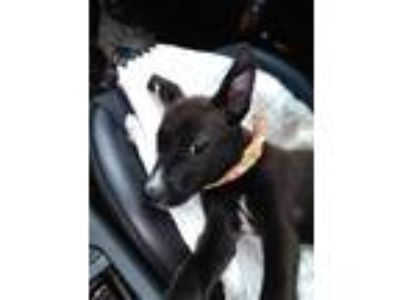 Adopt Willow a Black - with White Terrier (Unknown Type, Medium) dog in
