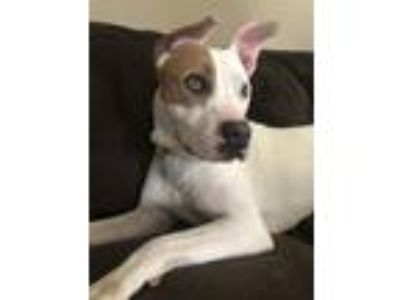 Adopt Odie a White - with Brown or Chocolate Pit Bull Terrier / Mixed dog in St