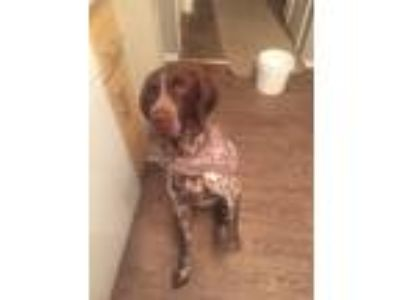 Adopt Nugget a Brown/Chocolate - with White German Shorthaired Pointer / Mixed