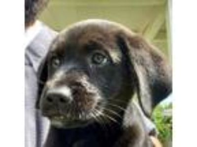 Adopt Nile a Labrador Retriever