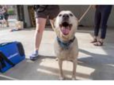 Adopt Gracie a Tan/Yellow/Fawn Labrador Retriever dog in Washington