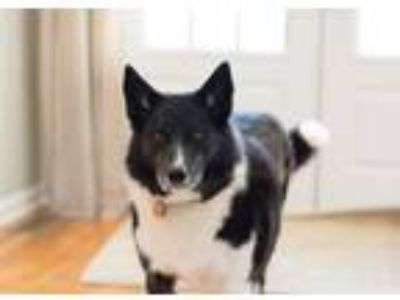 Adopt Vala a Black - with White Husky / Collie / Mixed dog in Buford
