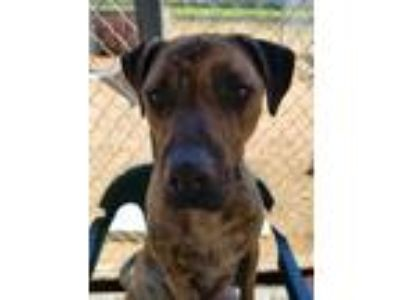 Adopt Haze a Brindle American Staffordshire Terrier / German Shepherd Dog dog in