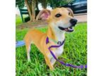Adopt Chica a Mixed Breed (Small) / Mixed dog in Lake Jackson, TX (25760186)