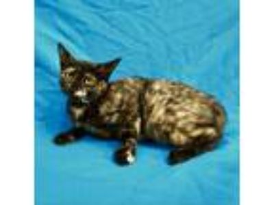 Adopt Kindle a Tortoiseshell Domestic Shorthair cat in Culver City