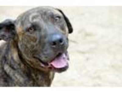 Adopt Tara a Brindle Labrador Retriever / Pit Bull Terrier / Mixed dog in