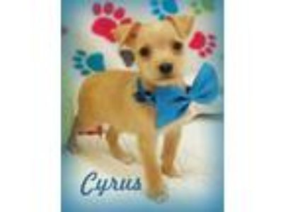 Adopt Cyrus a Tan/Yellow/Fawn - with White Dachshund / Terrier (Unknown Type