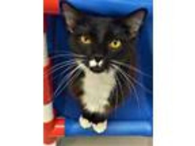 Adopt Blaze a All Black Domestic Longhair / Domestic Shorthair / Mixed cat in