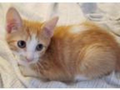 Adopt Archie -- 12 WEEKS a Domestic Short Hair, Tabby