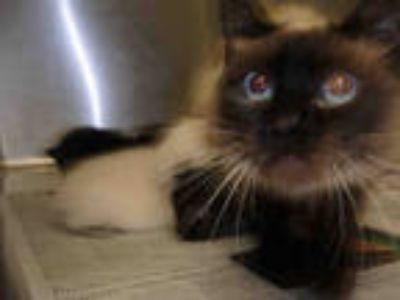 Adopt GODIVA a Brown or Chocolate Domestic Shorthair / Mixed (short coat) cat in
