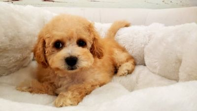 Maltipoo Puppy – Male- Toro ($1,250)