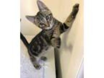 Adopt Bobbie a Tiger Striped Domestic Shorthair (short coat) cat in Albion