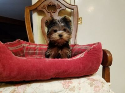 Yorkshire Terrier PUPPY FOR SALE ADN-105388 - Tiny Teacup Yorkie Boy