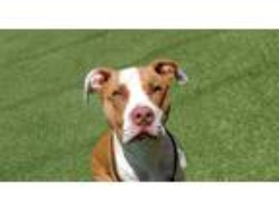 Adopt Sparks a American Pit Bull Terrier / Mixed dog in Oceanside, CA (25322838)