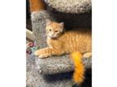 Adopt GLENN COCO a Domestic Shorthair / Mixed (short coat) cat in Wintersville