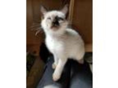 Adopt Othello a Cream or Ivory (Mostly) Domestic Shorthair / Mixed (short coat)
