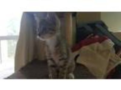Adopt Apples a Brown or Chocolate Domestic Shorthair / Domestic Shorthair /