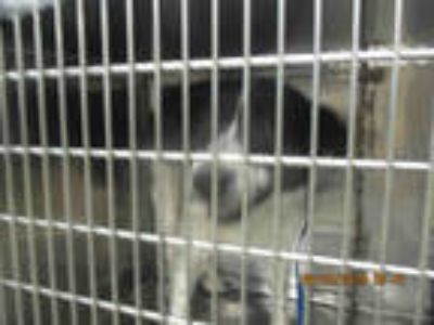 Adopt GRIZZLY a Black - with White Border Collie / Great Pyrenees / Mixed dog in