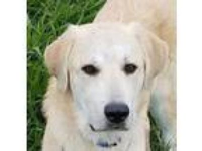 Adopt Rocky a Tan/Yellow/Fawn Labrador Retriever / Mixed dog in Sheridan