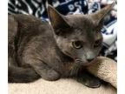 Adopt Podge a Gray or Blue Domestic Mediumhair / Domestic Shorthair / Mixed cat