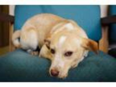 Adopt Dorothy a Labrador Retriever, Australian Cattle Dog / Blue Heeler