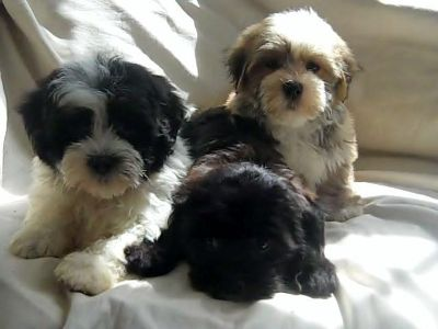 Cute Havanese Puppies Available Adorable