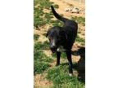Adopt Koda a Black Labrador Retriever