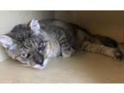 Adopt Whiskey a Domestic Short Hair