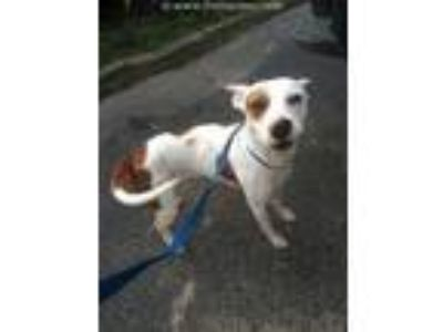 Adopt A318248 a Staffordshire Bull Terrier, Mixed Breed
